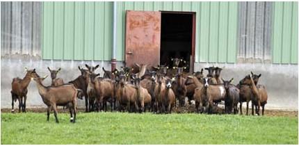 chèvres alpines