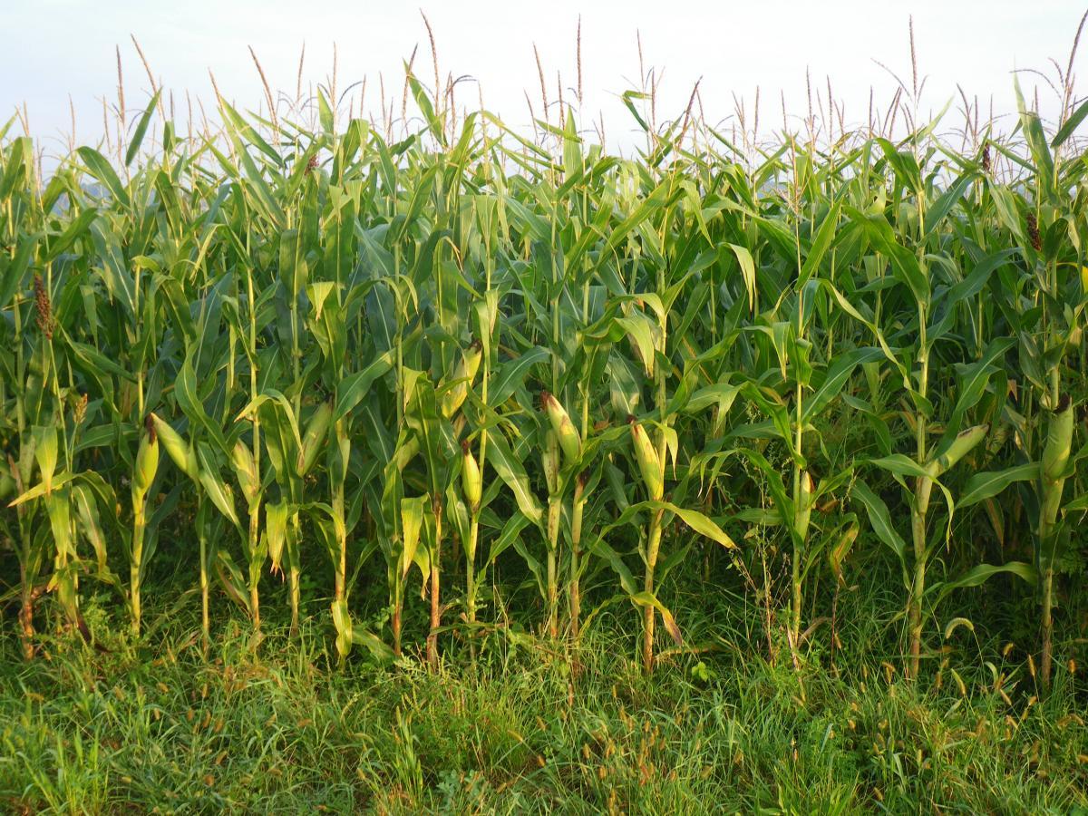 Achat de maïs fourrage sur pied en 2013 cf605af112